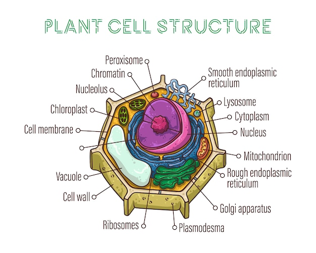 Schematic structure of plant cell. Premium Vector