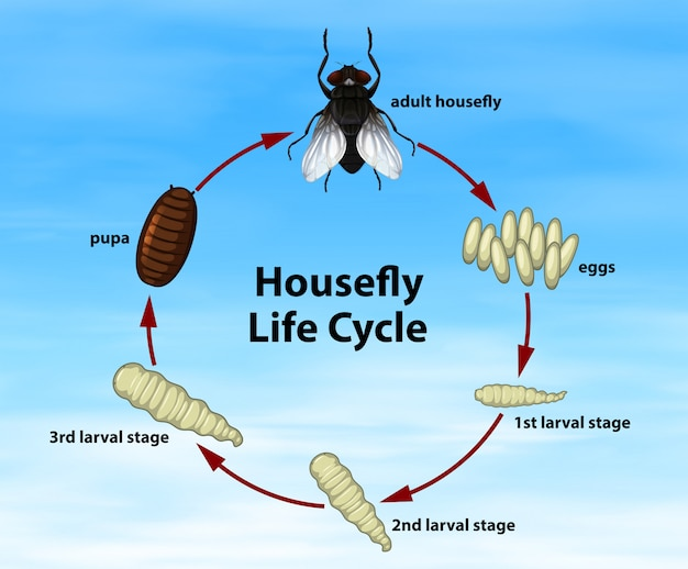 Science housefly life cycle Free Vector
