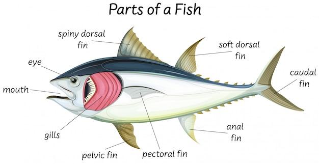 魚の科学内部解剖学 無料ベクター