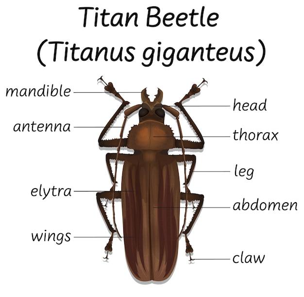 Anatomia dello scarabeo dei titani di scienza Vettore gratuito