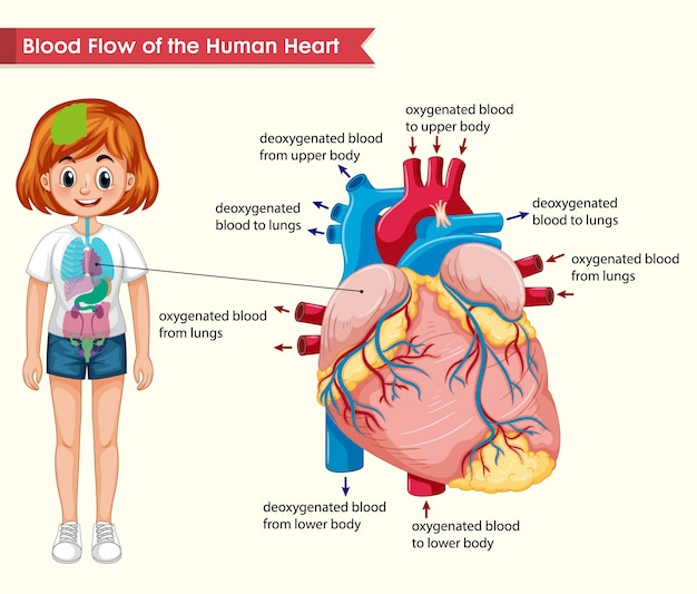 Scientific medical  of human heart bloodflow Free Vector