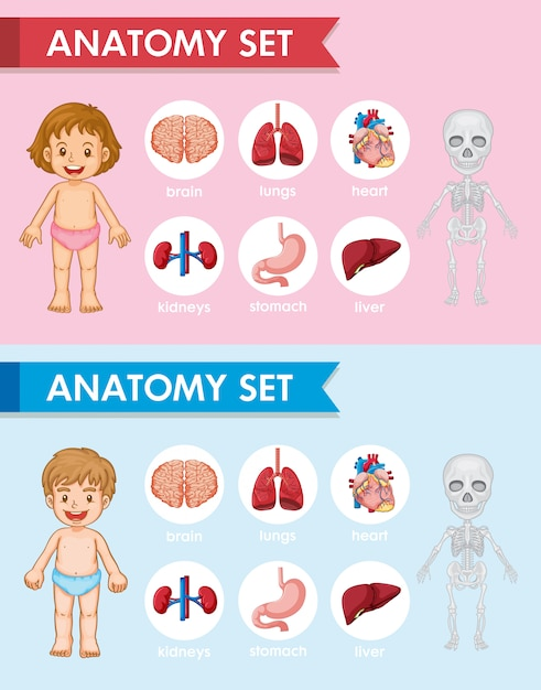 Scientific medical illustration of human antomy parts Free Vector