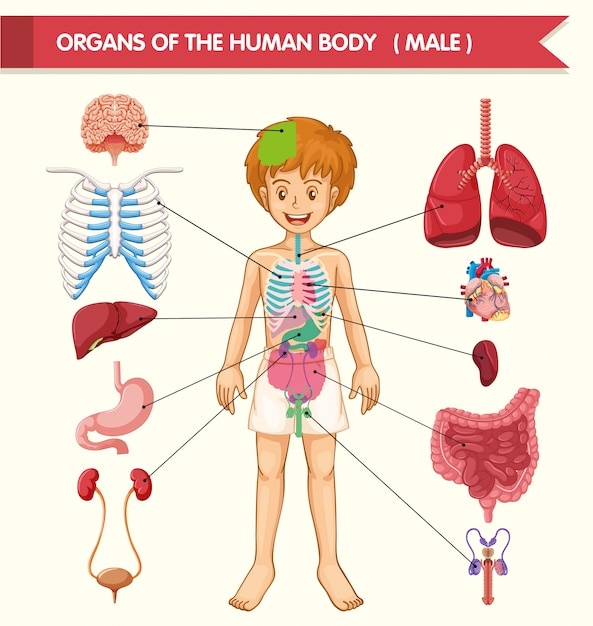 Scientific medical illustration of human body organs Free Vector