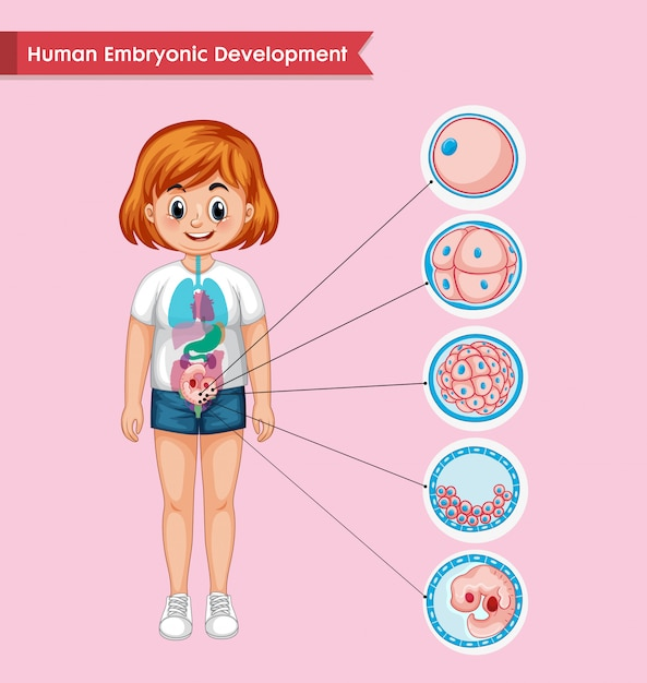 Scientific medical infographic of human embryonic development Free Vector