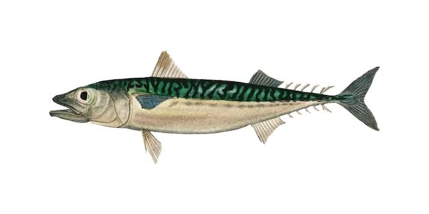 チャールズ・ササレル(scomber colias)はcharles dessalines d'orbigny(1806-1876)によって説明されています。 無料ベクター