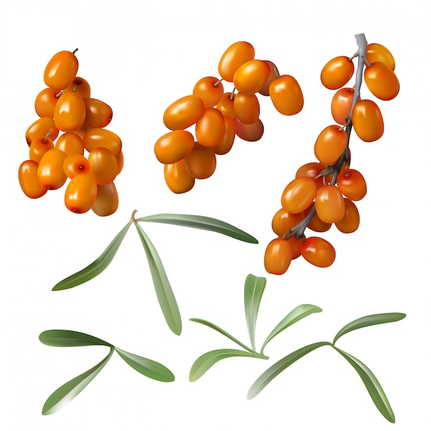 Sea buckthorn, yellow berries and green leaves Free Vector