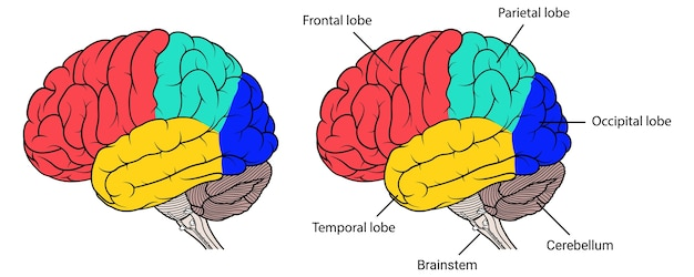 Sections of human brain anatomy side view Premium Vector