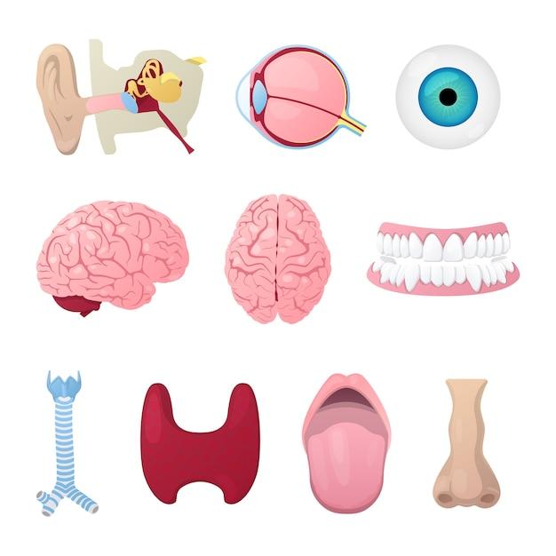 人体解剖学の選択 Premiumベクター