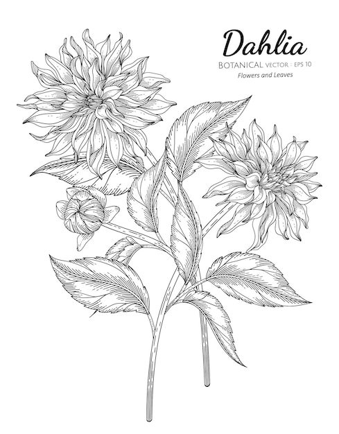 Set of dahlia flower and leaf hand drawn botanical illustration with line art Premium Vector
