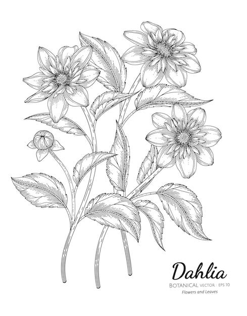 Set of dahlia flower and leaf hand drawn botanical illustration with line art Premium Vector