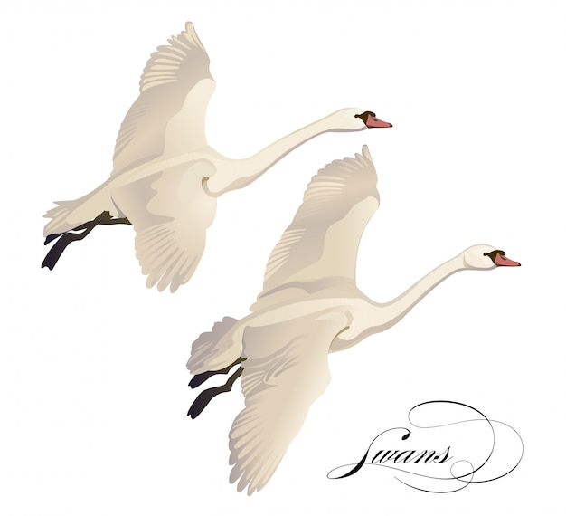 Bird Cygnini, Flying Swan, animals, pretty png | PNGEgg | 570x626