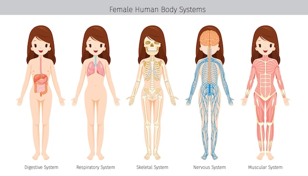 Set of female human anatomy, body systems Premium Vector