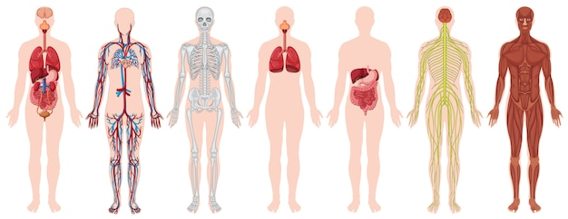 Set of human body and anatomy Free Vector