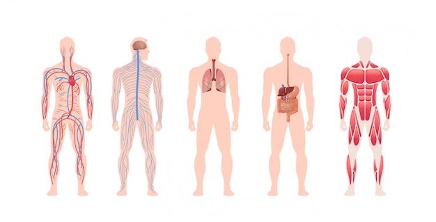 인체 내부 장기 시스템 순환 신경 근육 구조 해부학 생리학 전면보기 가로 길이 설정 프리미엄 벡터