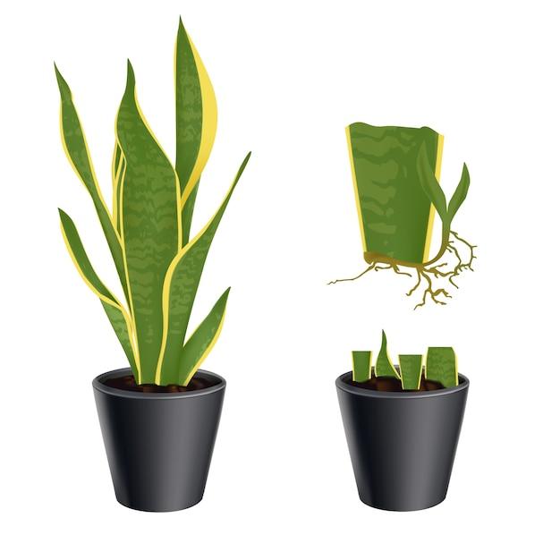 イラストを設定しますポットの植物sansevieria trifasciataの栄養繁殖。白い背景の上。 Premiumベクター