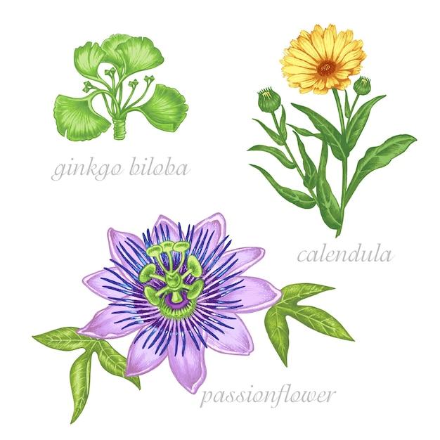Set of  images of medicinal plants. beauty and health. bio additives. ginkgo biloba, passionflower, colendula. Premium Vector