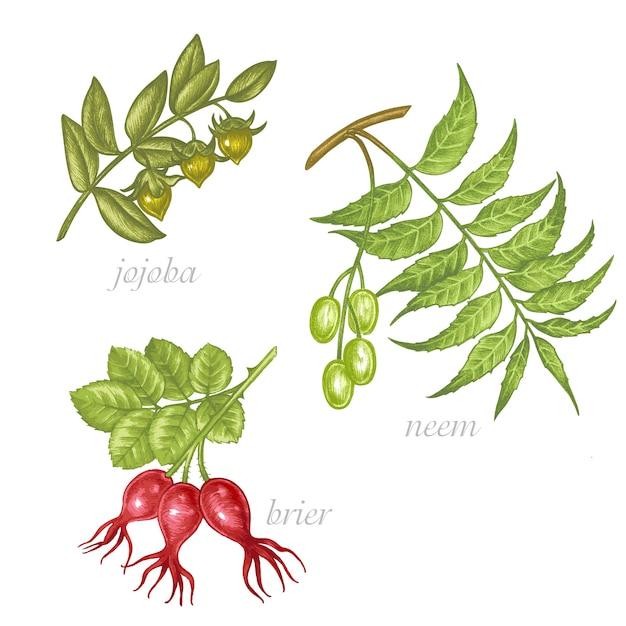 Set of  images of medicinal plants. biological additives are. healthy lifestyle. jojoba, neem, briar. Premium Vector