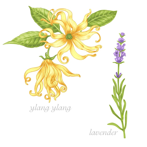 Set of  images of medicinal plants. biological additives are. healthy lifestyle. ylang, lavender. Premium Vector