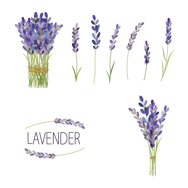 Set of lavender flowers elements. collection of lavender flowers on a white background. Premium Vector