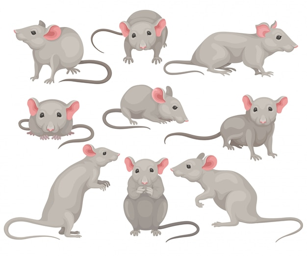 Set of mouse in different poses. small rodent with gray coat, big pink ears and long tail. cute domestic mice Premium Vector