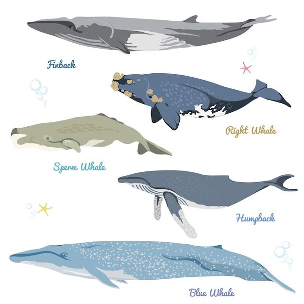 世界の現実的なアイコンのイラストから5つの詳細なクジラのセットには、フィンバック、セミクジラ、マッコウクジラ、ザトウクジラ、シロナガスクジラが含まれます Premiumベクター