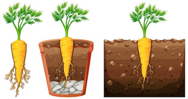잎이 흰색 배경에 고립 된 당근 식물의 세트 무료 벡터