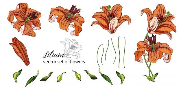 ユリの花とつぼみのセットです。オレンジリリー。 Premiumベクター