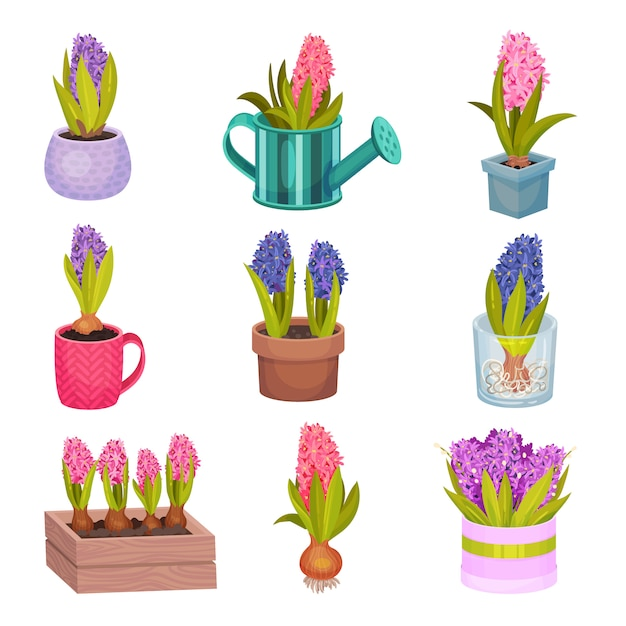 異なる色のヒヤシンスの花のセットです。 Premiumベクター