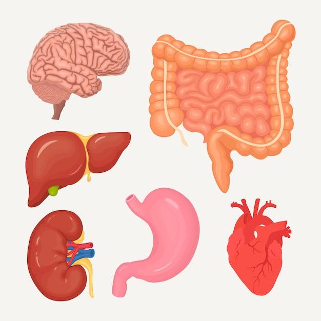 Набор кишечника, кишок, желудка, печени, мозга, сердца, почек. человеческие органы Premium векторы