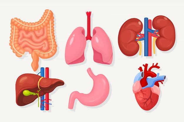 腸、腸、胃、肝臓、肺、心臓、白で隔離される腎臓のセットです。消化管、呼吸器系。 Premiumベクター