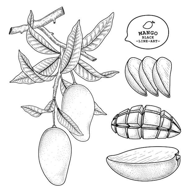 망고 과일 손으로 그린 요소 식물 그림의 집합 무료 벡터