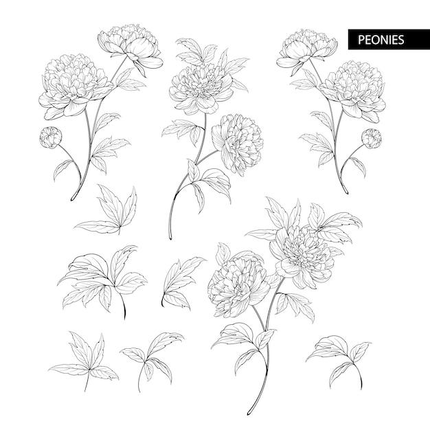 牡丹の花の要素のセット Premiumベクター
