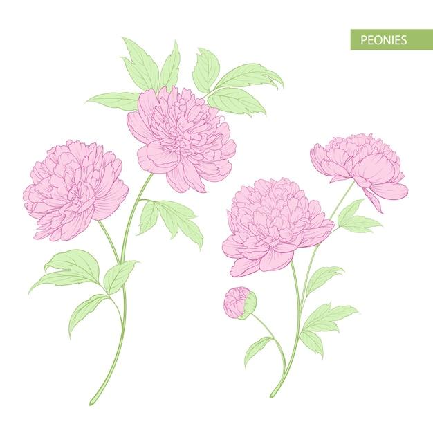 牡丹の花のセット。 Premiumベクター