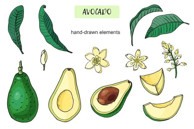 Набор реалистичных авокадо. летняя тропическая еда для здорового образа жизни. мультфильм целые фрукты, половина, лист, цветок. рисованной иллюстрации. природные органические овощи. эскиз на белом фоне. Premium векторы