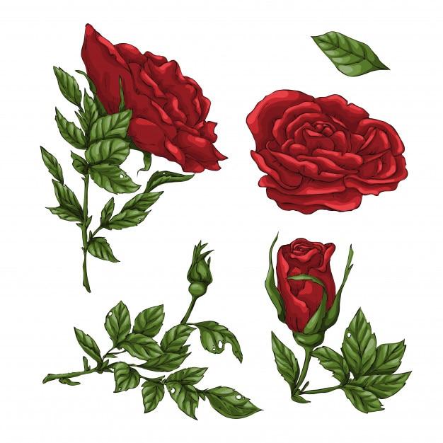 Set Of Red Rose Flower Vector Premium Download