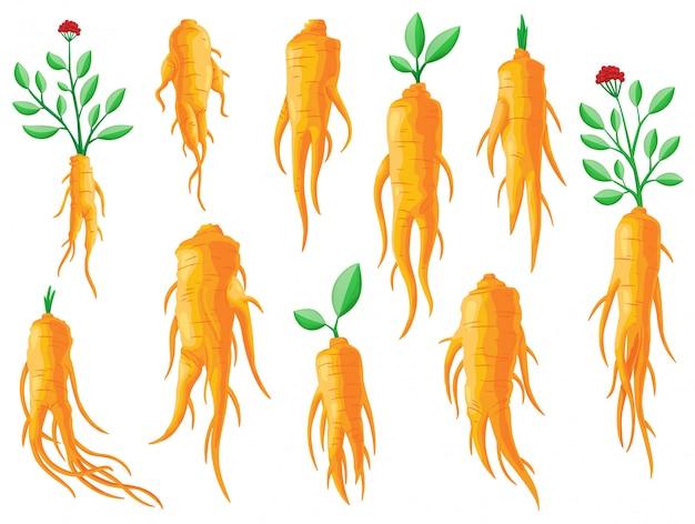 朝鮮人参の根と葉のセットです。健康的な生活様式。伝統医学、ガーデニング。薬用植物のカラフルなフラットイラスト。白い背景で隔離 Premiumベクター