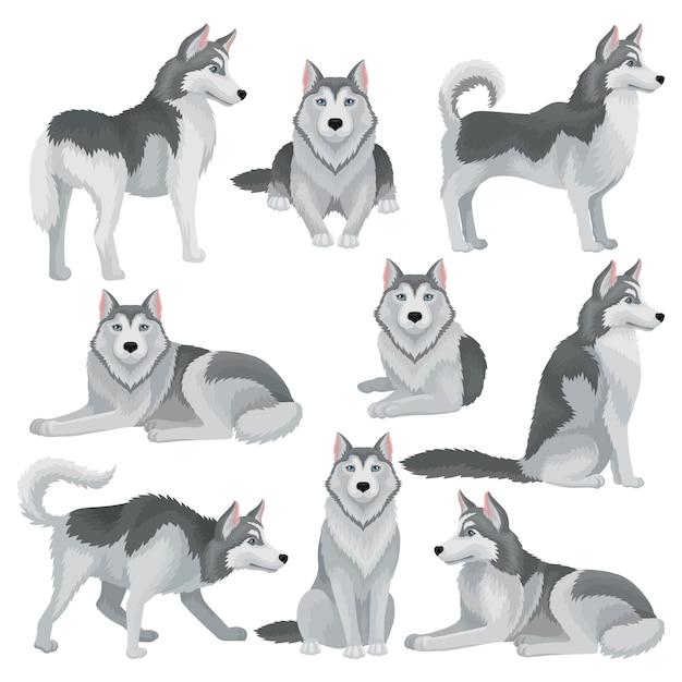 Набор сибирских хаски в разных позах. очаровательная домашняя собака с серой шерстью и голубыми блестящими глазами. домашний питомец Premium векторы