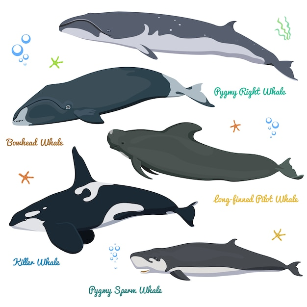 Набор китов из мира killer whale pygmy sperm, bowhead, right, длинноногий пилот Premium векторы
