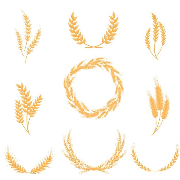 Набор колосьев цельной пшеницы. для производства муки и хлеба. иллюстрация на белом фоне. Premium векторы