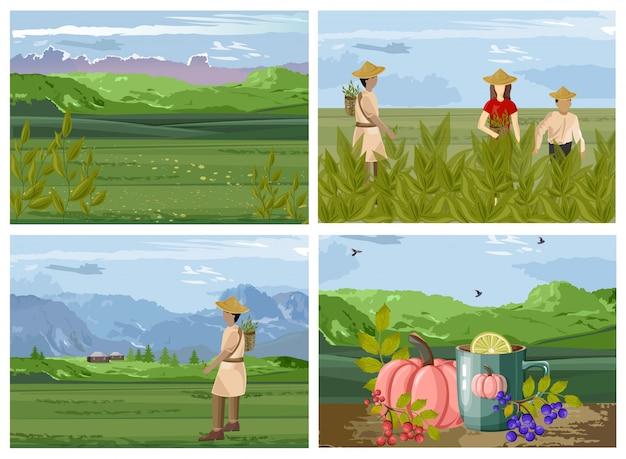 Set of organic tea harvesting process Premium Vector