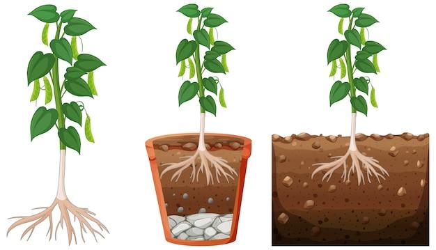 Set di pianta di peapod Vettore gratuito