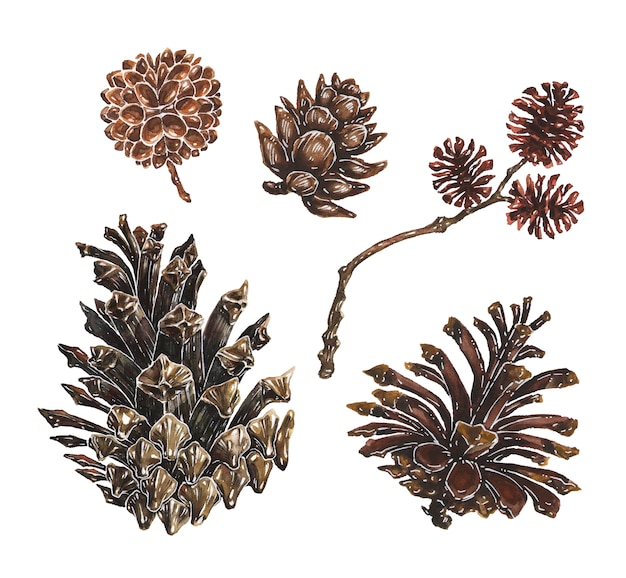 Set of pine and larch cones with branch watercolor illustrations Premium Vector