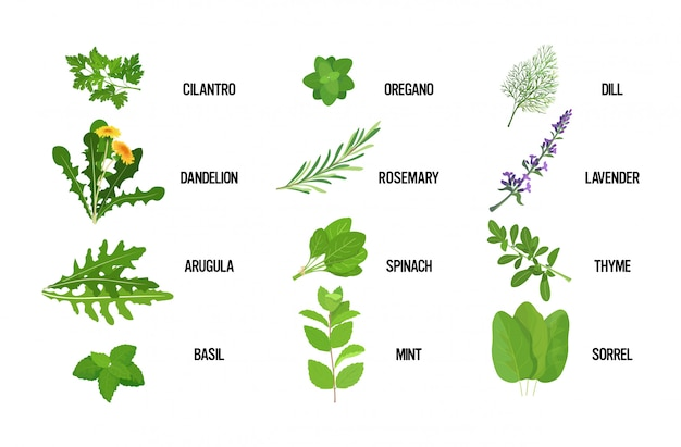 Set realistic fresh herb green leaves collection healthy food concept horizontal Premium Vector