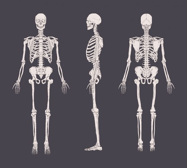 Set of realistic skeletons isolated. anterior, lateral and posterior view. concept of anatomy of human skeletal system. Premium Vector