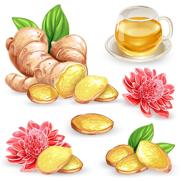 Set vector illustration of a fresh ginger root, sliced, flower and ginger tea. Free Vector