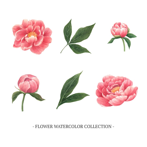 Set of watercolor peony, hand-drawn illustration of elements isolated white. Free Vector