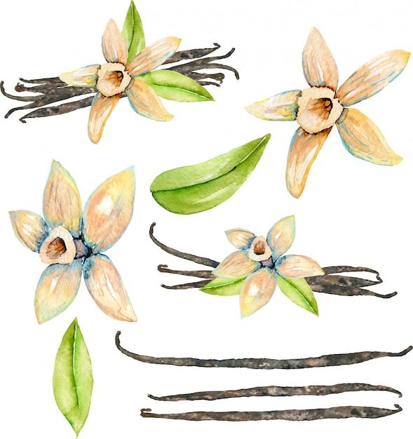 Set of watercolor vanilla elements Premium Vector
