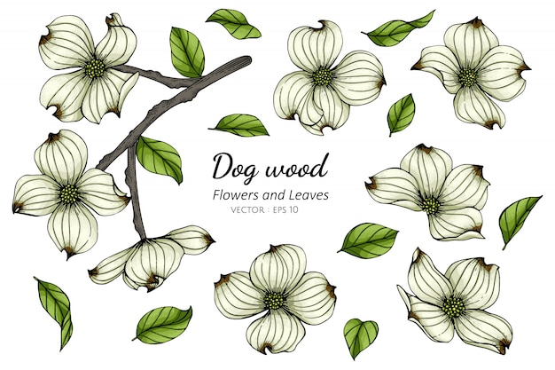 Set of white dogwood flower and leaf drawing illustration Premium Vector