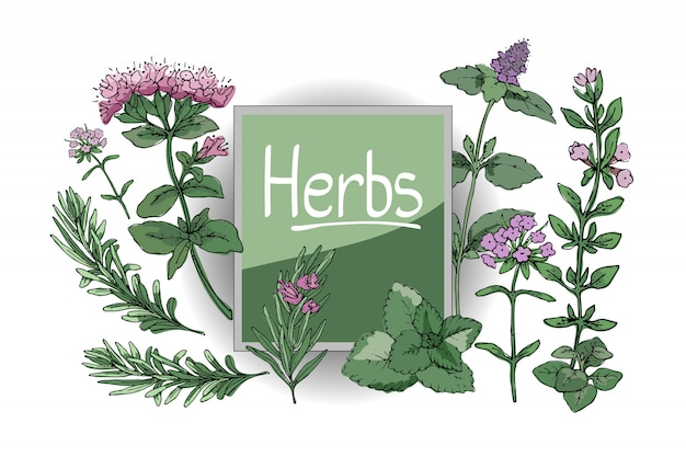 Set with culinary spicy herbs. rosemary, thyme, mint, oregano, melissa. Premium Vector