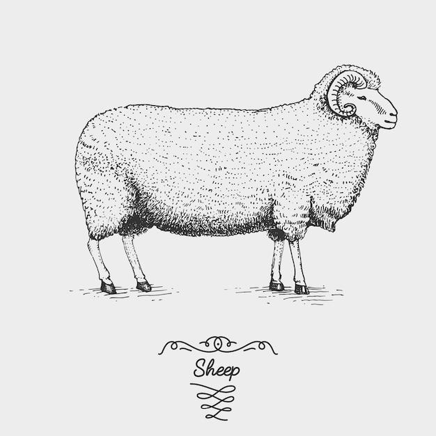 Овцы выгравированы, рисованной иллюстрации в стиле гравюры на дереве, старинные рисунки видов. Premium векторы